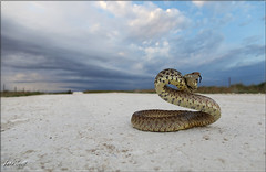 Bullsnake (Pituophis catenifer sayi) by Jake M. Scott
