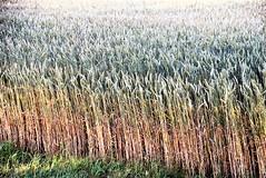 Wheat 24.07 (3)