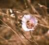 clay mariposa lily.