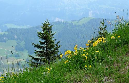 stanserhorn switzerland mountain wildflowers sandraleidholdt europe stans