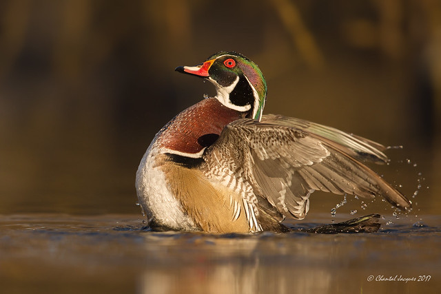 Pump it up- Wood duck Style