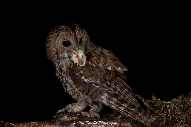 Tawny owl at my hide opening 26th of June . More info @ www.facebook.com/ihwildlfe