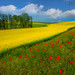 Rows Of Poppies And Canola by kevin mcneal