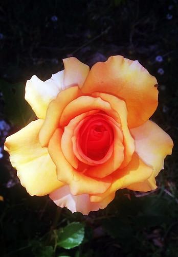 Rosa de pétalos metalizados