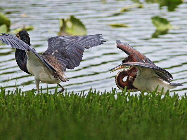Tricolored Heron demands feeding 05-20170612