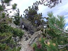Pine Mountain Pines- 6/10/17