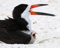 Black Skimmer Chick Mimics Adult