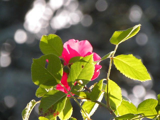 Roses , Leaves & Light, Nikon COOLPIX P90