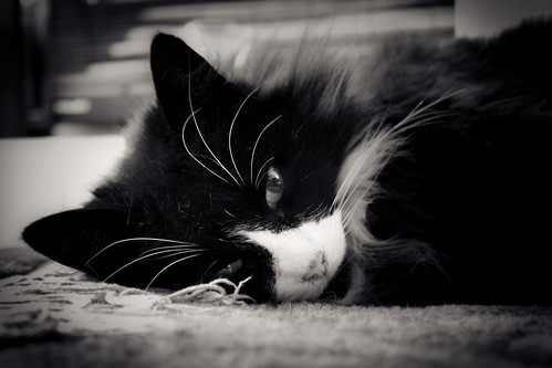 gloucester longhair landscape soft cute mammal headshot sleeping cat frontview long carpet adult animal female closeup noon fur interior beautiful eyebrow whisker petphotography life black vignette eye blackandwhite oneanimal white