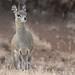 Ethiopian Klipspringer (Tim Melling)