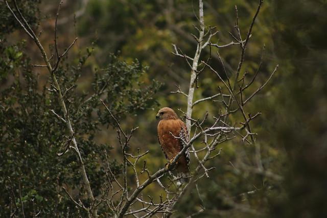 Red Shouldered Hawk, Canon EOS REBEL T6I, Canon EF 75-300mm f/4-5.6 USM