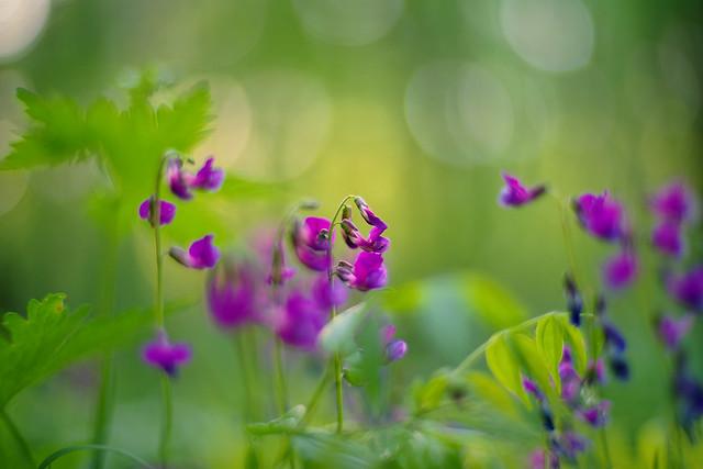 Lathyrus vernus (spring vetchling, spring pea, or spring vetch)