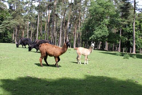 Forestia, Lama