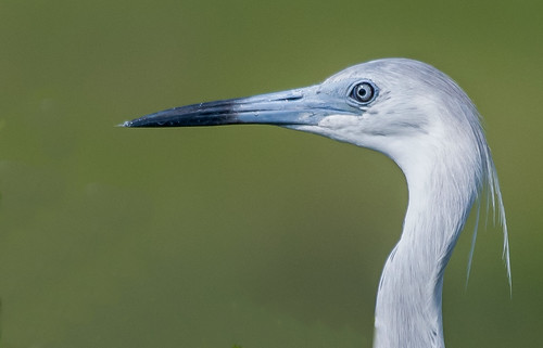 Immature Little blue heron portrait