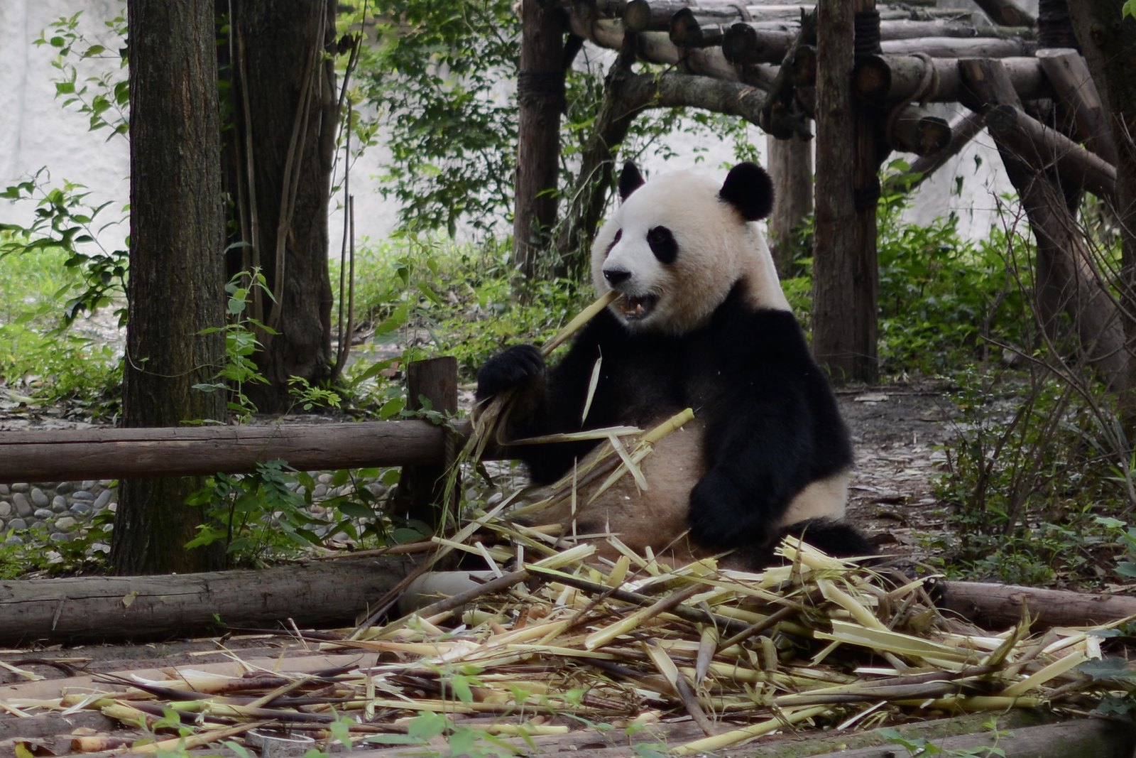 Panda Center in Chengdu, China