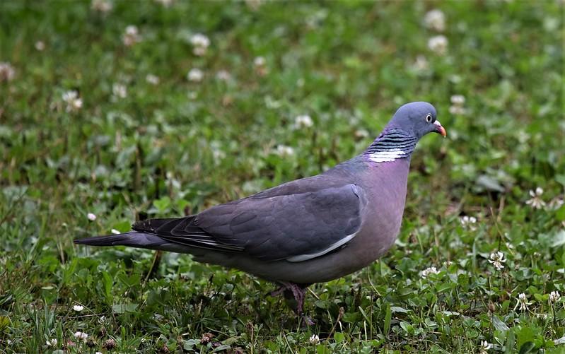 Pigeon 13.07 (4)
