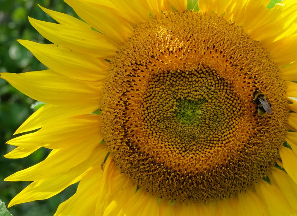 Sunflower & BumbleBee_LJ