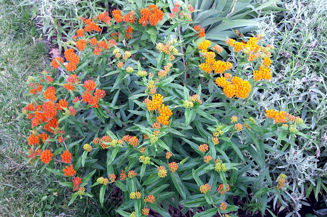 from above, a nearly round-shaped plant, dark orange flowers on the left, lighter orange flowers on the right