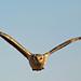 Montagu's Harrier-001 by Neil O'Reilly