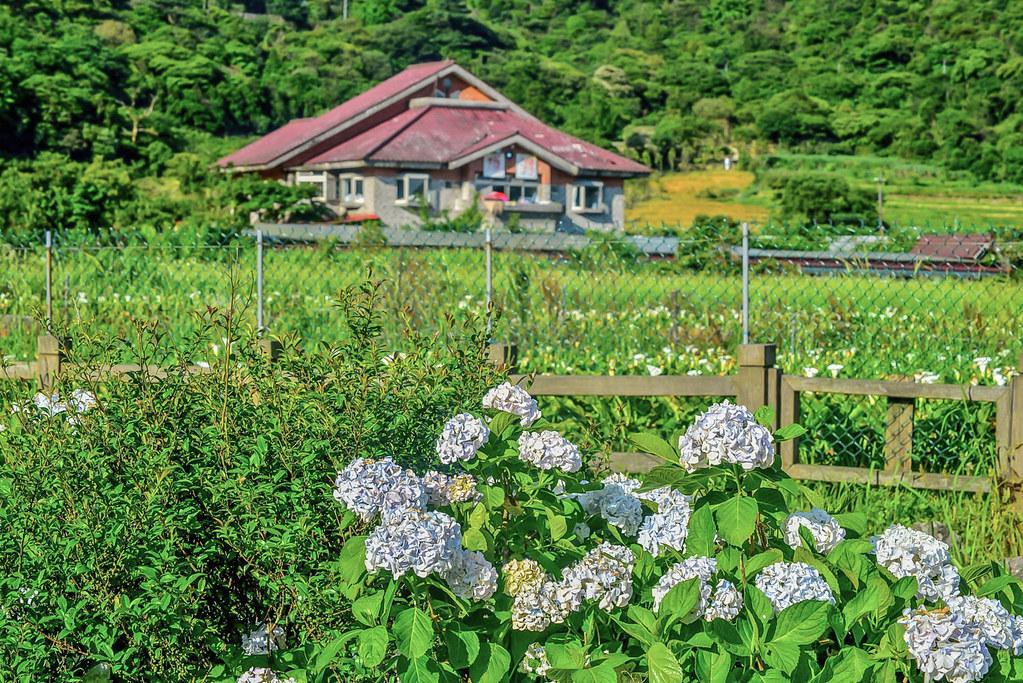 20170607竹子湖繡球花_170608_0001