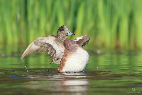 American wigeon - Canard d'Amérique - Anas americana