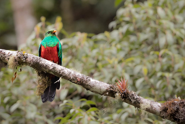 Golden-headed Quetzal, Canon EOS-1D X MARK II, Canon EF 500mm f/4L IS II USM