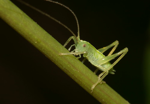 Oak bush cricket (Meconema thalassinum) nymph