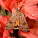 DSC05124 - Huismoeder ( Noctua pronuba ) - Yellow Underwing by Arnoldus1942