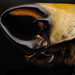Eastern Hercules Beetle by Alberto López