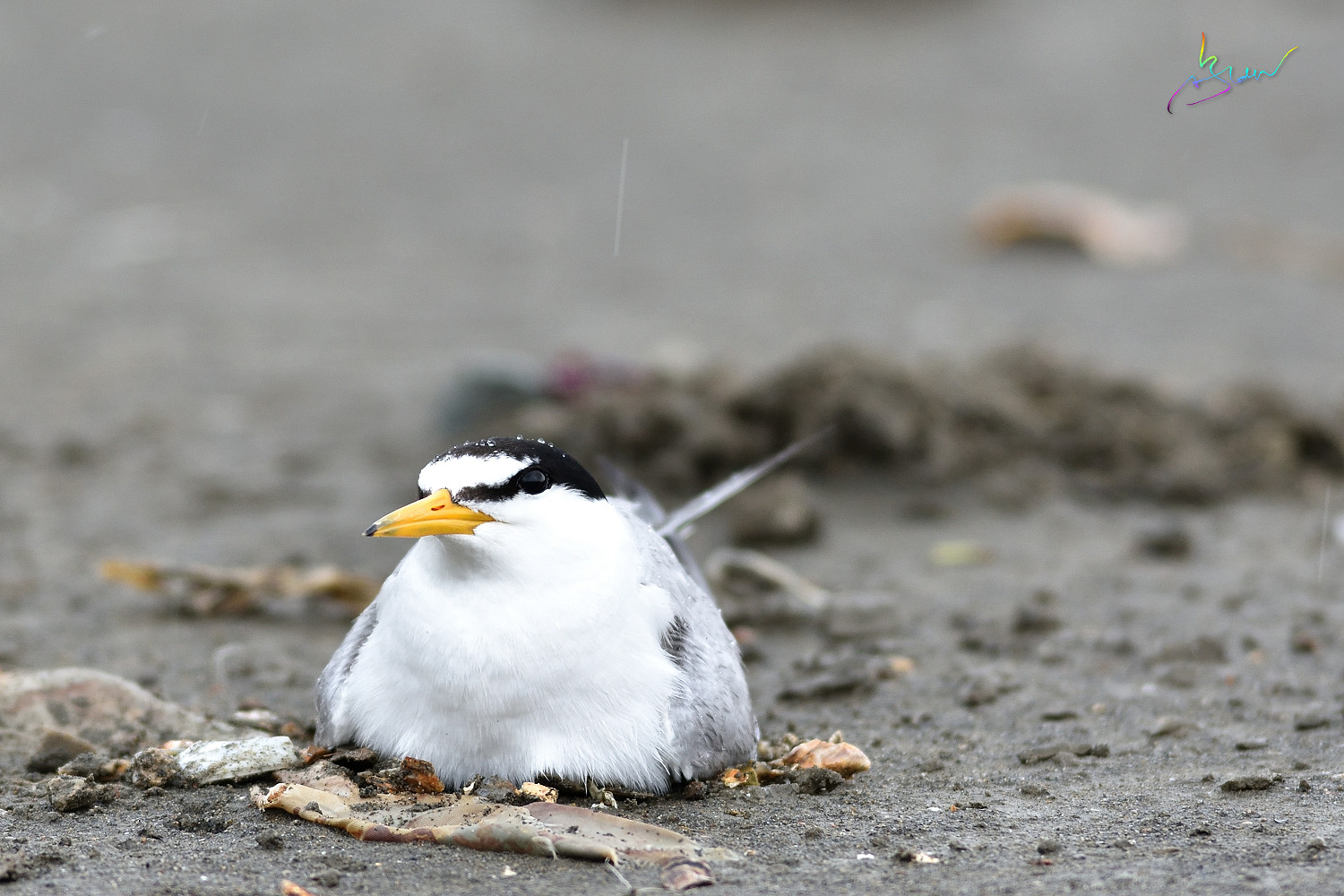 Little_Tern_4541