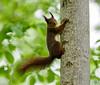Ekorre / Squirrel