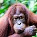 Orangutan (Trevor Platt)