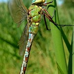 zöld óriásacsa - Anax imperator