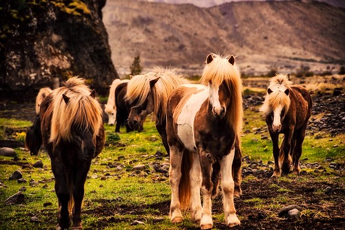 Ride an Icelandic Horse. From Unique Things to See and Do in Iceland