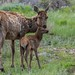 IMG_6584 cow elk and calf by starc283