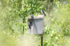 Tree Swallows and their nest box