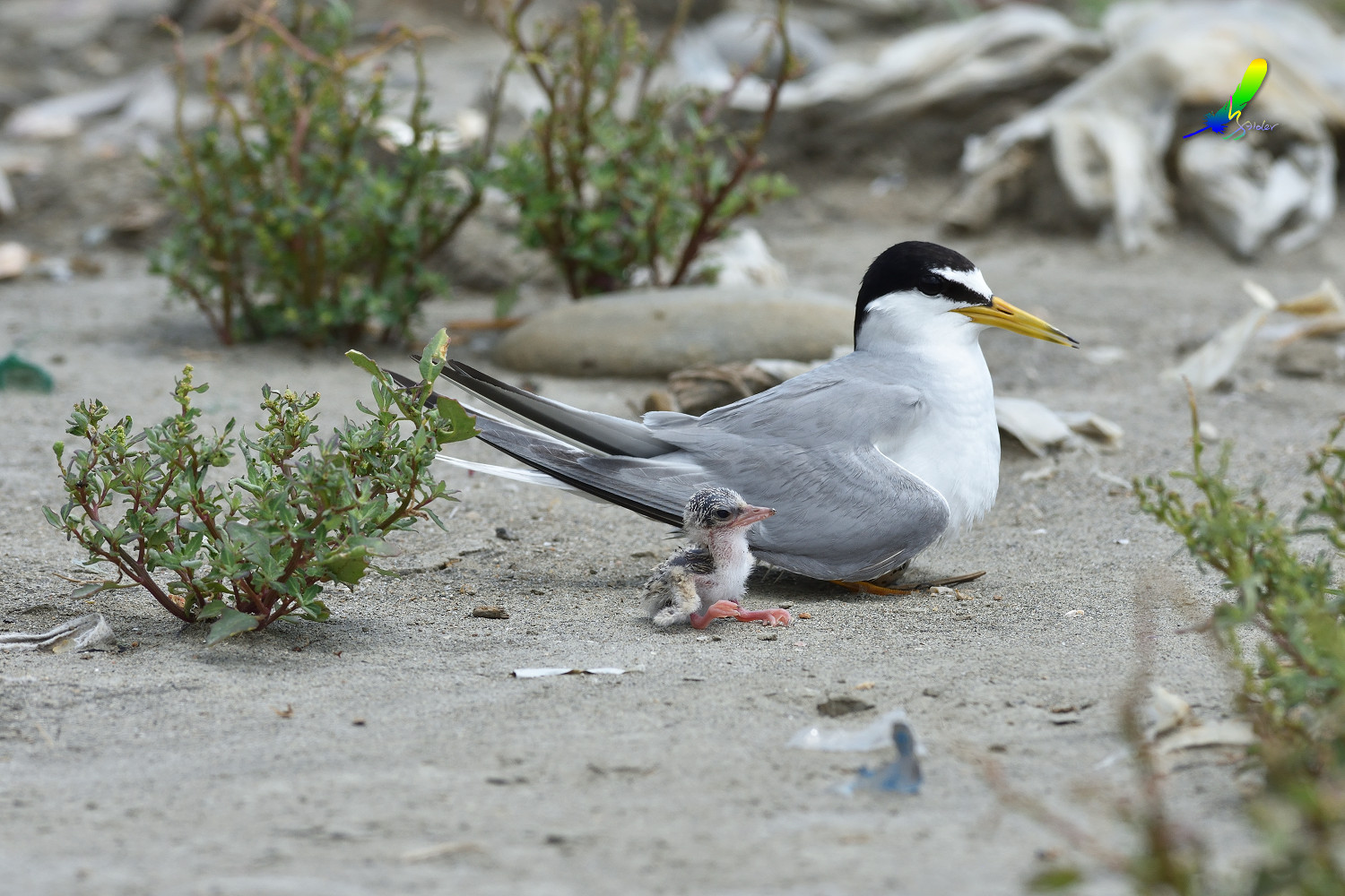 Little_Tern_9137