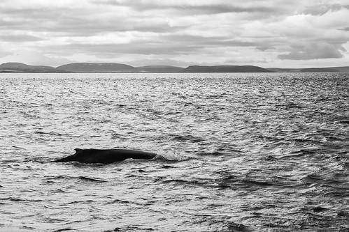day 5 den husavík iceland island velryby whalewatching day5 den5 húsavík northeast