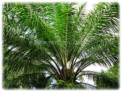 Beautiful green leaves of Elaeis guineensis (Oil Palm, African Oil Palm, Kelapa Sawit), 28 Dec 2009