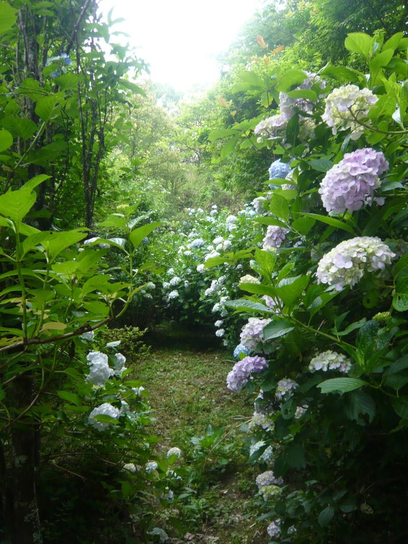 秘密の花園 岩船寺の紫陽花 あじさい アジサイ gansenji hydrangea secret garden japan kyoto