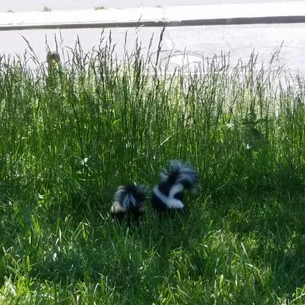 Skunklets