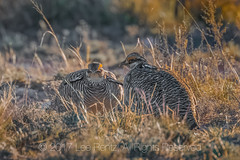 Male Lesser Prairie Chicken Courtship Display on a New Mexico Lek