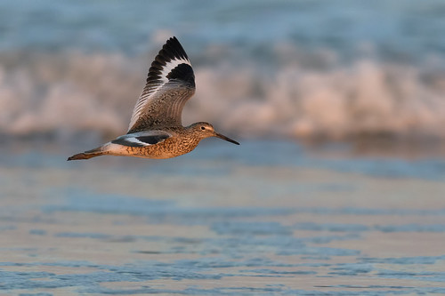 shorebird willet beach ocean sunset wildlife nature bif wing water tringasemipalmata bird birdinflight stoneharborpoint shore stoneharbor newjersey unitedstates us d500 nikon