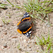 20170714 Wlk frm Clumber_0092 Red Admiral Butterfly