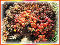 Ripened fruits of Elaeis guineensis (Oil Palm, African Oil Palm, Kelapa Sawit), 28 Dec 2009