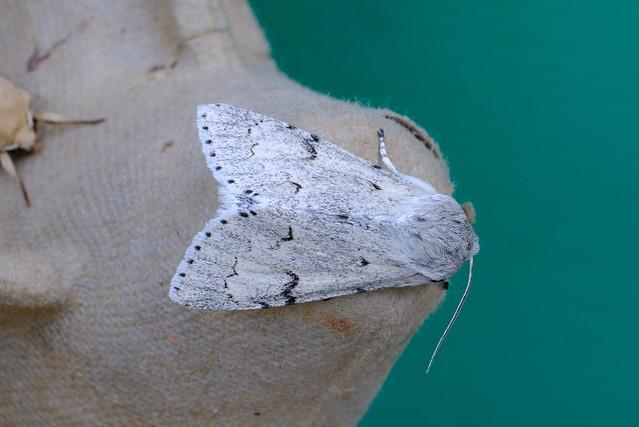 miller moth, a perfect, Fujifilm X-T20, XF60mmF2.4 R Macro