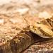 Small photo of Unamused Rattle Snake