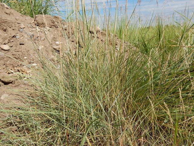 Header of Agropyron dasystachyum var. riparium