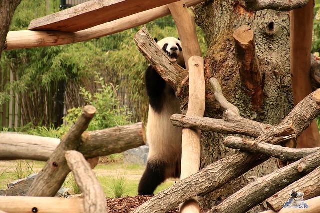 Panda Meng Meng und Jiao Qing im Berliner Zoo 09.07.2017 091