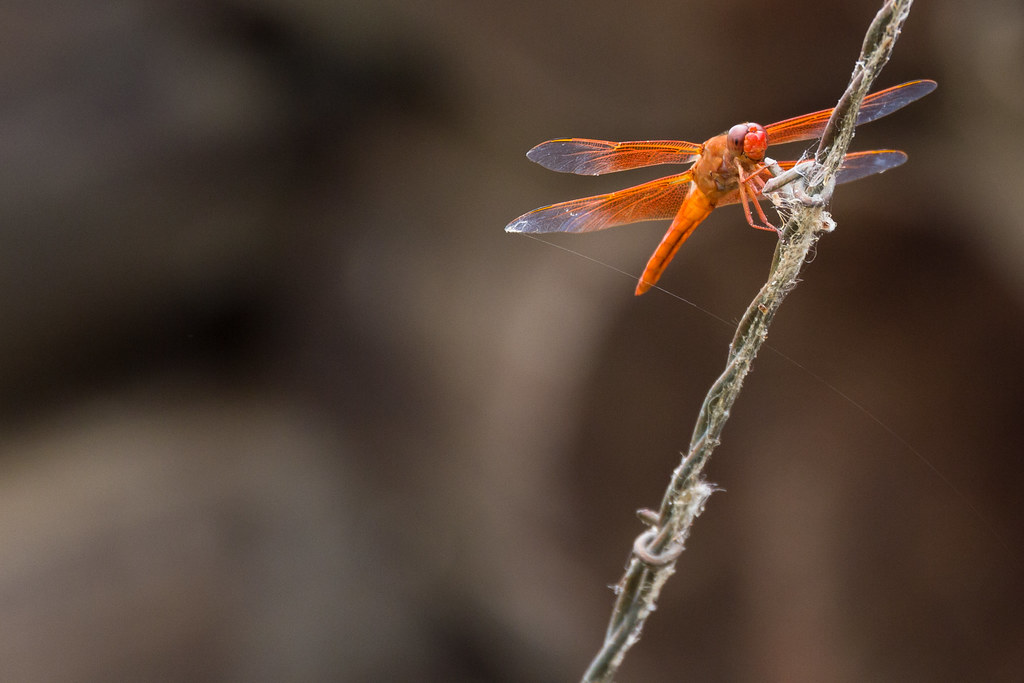 Red Orange Dragonfly